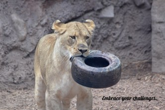 """This African lion never """"tires"""" of her challenges!"""