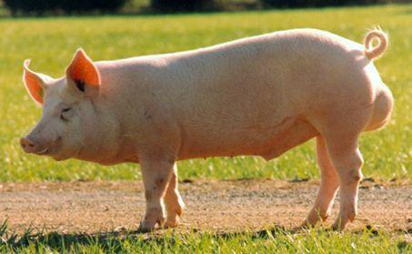 Los cerdos y la castración