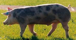 Jamón de cerdo blanco