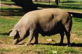La Diputación de Huelva estudia comercializar la tradicional matanza de cerdo ibérico de la sierra y el Andévalo