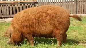 Presentación y corte de jamón de cerdo Mangalica de Jamones Monte Nevado