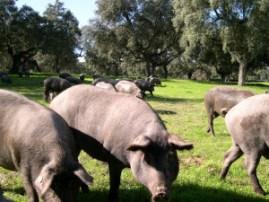 Dehesa, cerdo ibérico y jamón