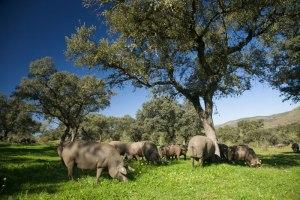La Federación de Ganado Selecto reconoce cruces de cerdo ibérico