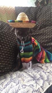 Chihuahua Sombrero (Samantha Violet)