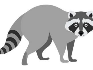 Raccoon stock illustration