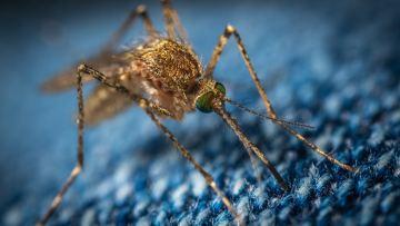 Close-up of mosquito