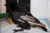 Carrion crow Magnus