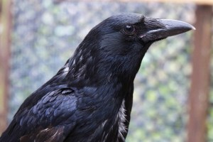 Carrion crow Pepper