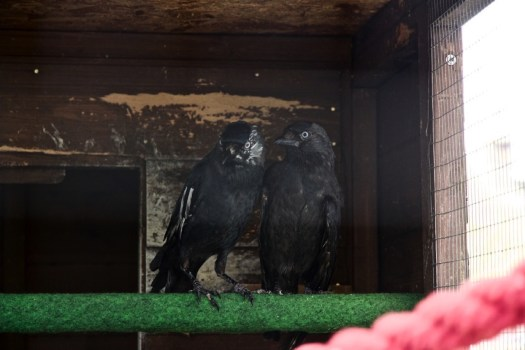 Jackdaws Albus and Moby