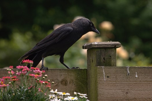 Jackdaw getting a snack