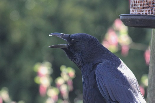 Carrion crow Merylin