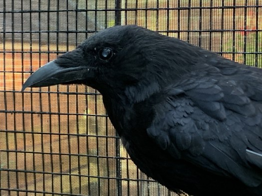 Carrion crow Aurelia