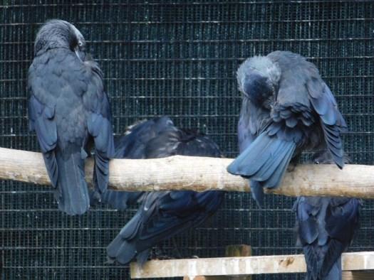 Jackdaw release aviary