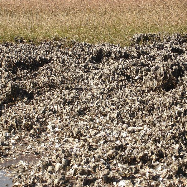 An oyster bed