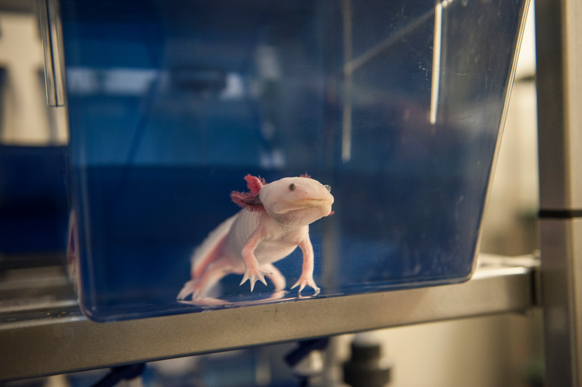 An axolotl looks out at the camera and swims in a tank.