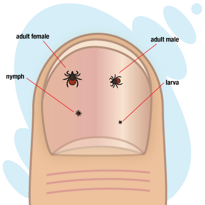 Different sizes of ticks. Adult females are the largest, adult males are next, nymphs are smaller, and larva are the smallest.