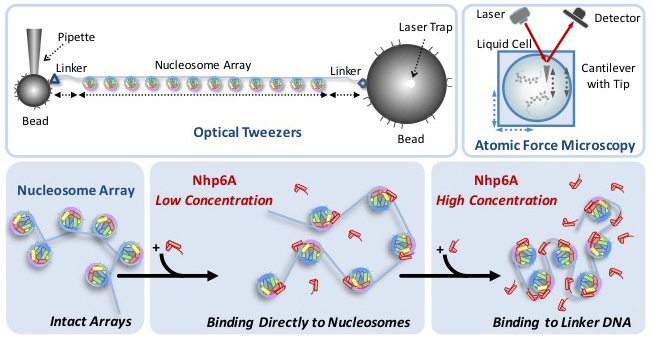A graphic depicting DNA being unraveled with a device known as optical tweezers.