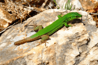 Some lizards can regenerate their tails, but the new tail will not be a perfect copy of the lost one. Photo by Francesco Ungaro from Pexels.