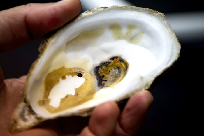 Lotterhos and her colleagues will be analyzing the genomes of eastern oysters from Louisiana to Maine to figure out which variations in the oysters' genetic code are tied to important traits. Photos by Ruby Wallau/Northeastern University
