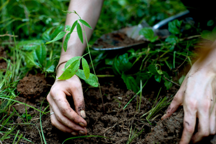 Katya Forsyth plants a pigeon pea (el frejol de palo), a nitrogen fixer tree that helps to build soil in degraded areas.