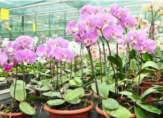 Cuando las orquídeas estén sanas, producirán flores grandes, hermosas y abundantes. Sigue estos parámetros para saber cómo y cuándo fertilizar tus orquídeas y obtener así los mejores resultados.
