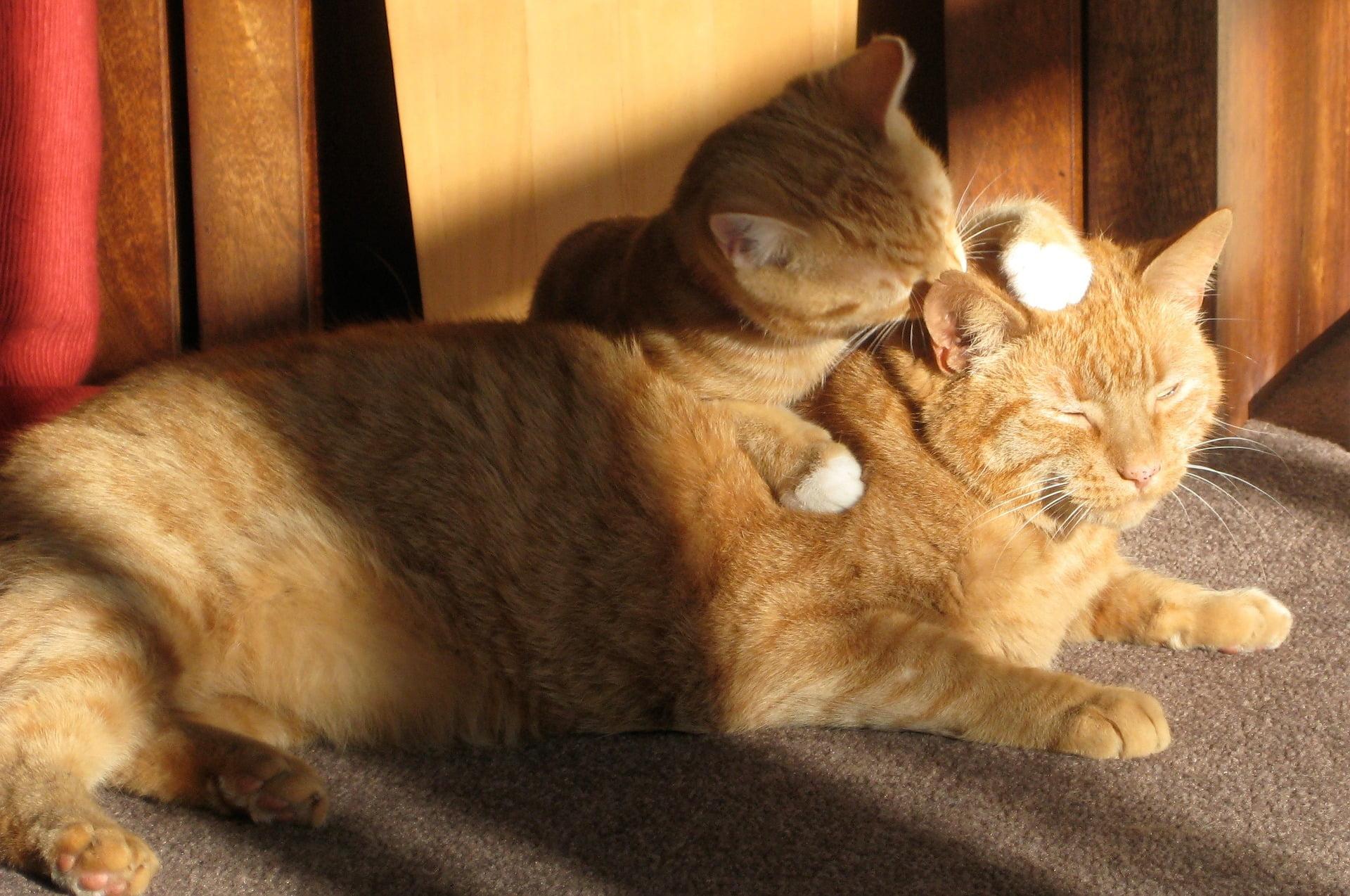 ¿Por qué los gatos se lamen entre sí? Datos que no sabías