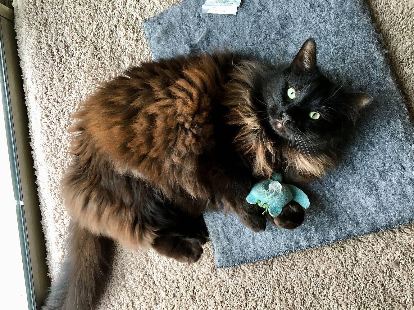Madreselva para gatos: Una alternativa a la hierba gatera