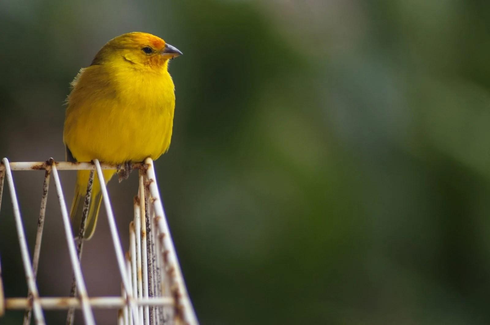 Aves mascotas pájaros