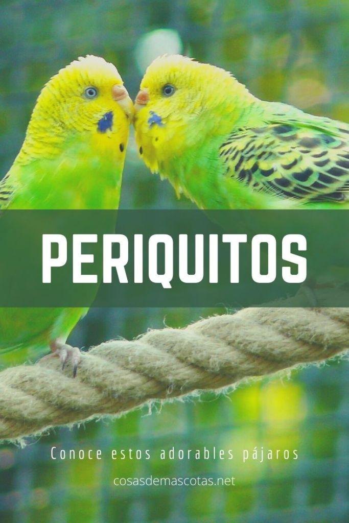 Periquitos: Todo lo que debes saber sobre este pequeño pájaro 2