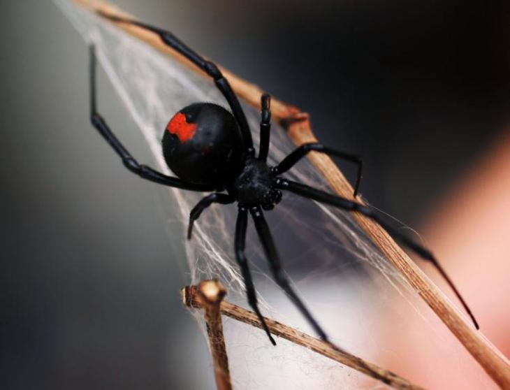 La picadura de la viuda negra puede llegar a provocar la muerte si no se trata a tiempo