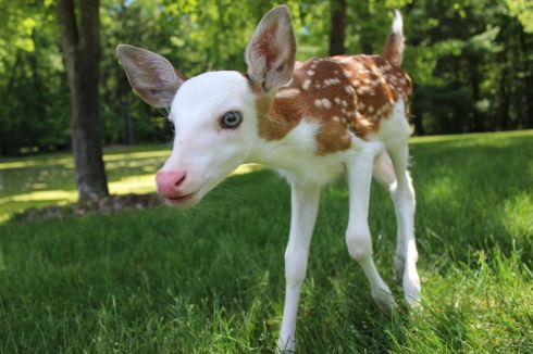 rare whitefaced deer fawn