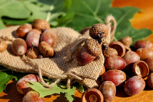 How to Eat Acorns - Easiest Way to Process + Acorn Recipes