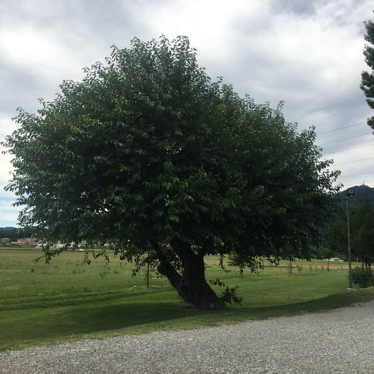 Albero secolare alla Rotonda di San Tomè