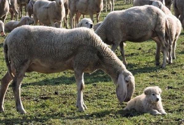 Festival del pastoralismo pecore e cani
