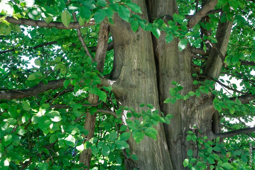 Carpino-betulo-tronco.jpg