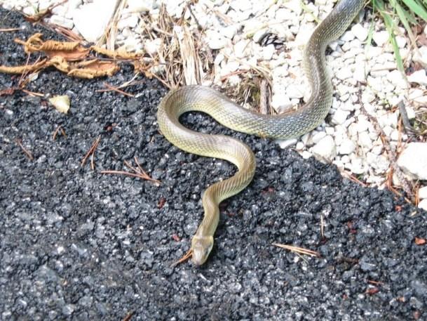 Serpente innocuo Saettone