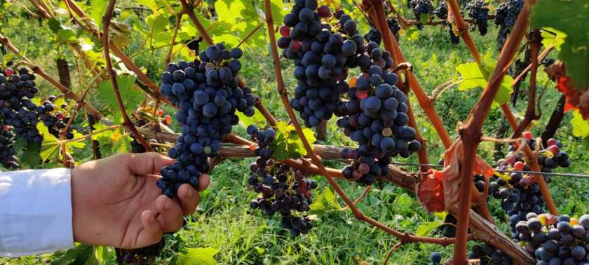 Una mano tocca gli acini di uva di Moscato di Scanzo