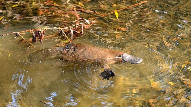 A wild platypus swimming.