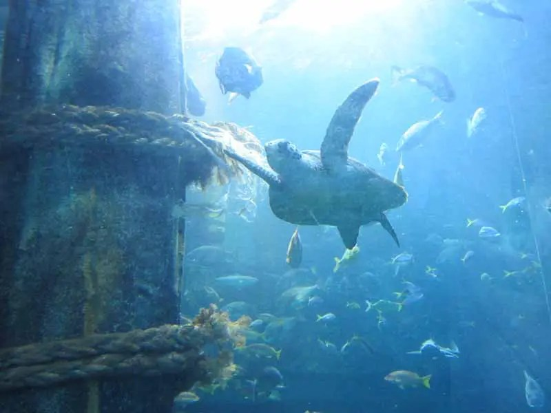 A marine turtle at the Melbourne Aquarium.
