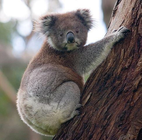 A koala climbing a tree.