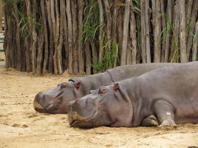 Hippos at at Werribee Zoo.