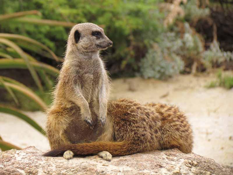 Meerkats at at Werribee Zoo.