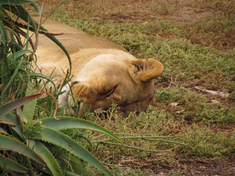 A sleeping female lion at Werribee Zoo.