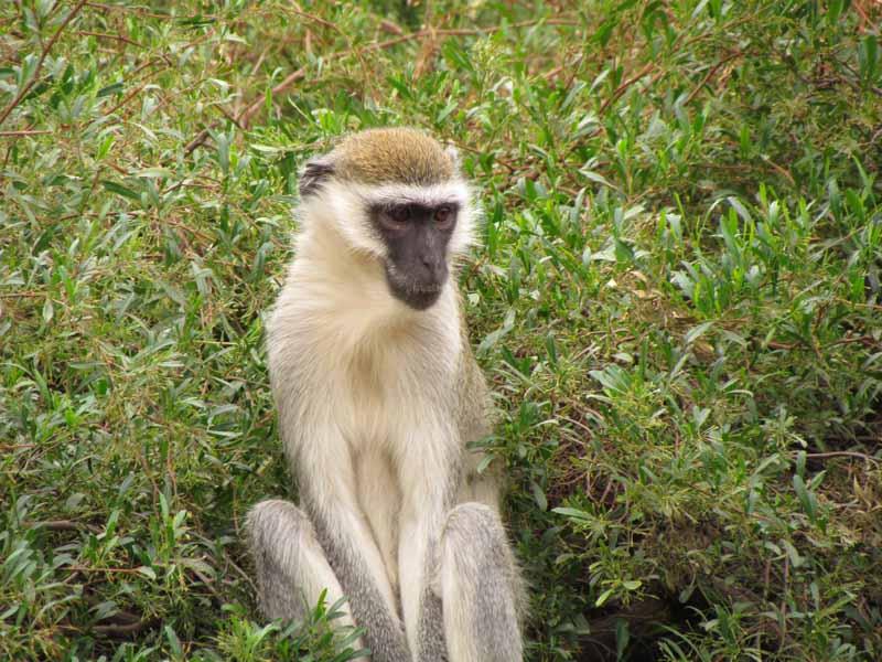 Monkeys at Werribee Zoo.
