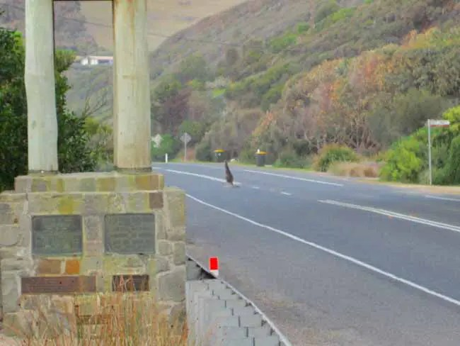 A kangaroo on the Great Ocean Road.