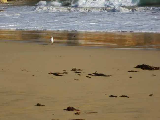 A seagull walking along the shore.