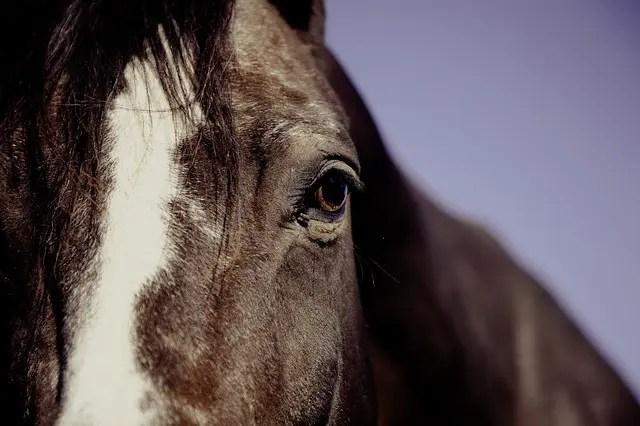Close-up of a horse. Melbourne Cup.