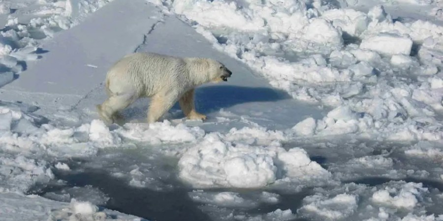 Environment - polar bear on melting ice