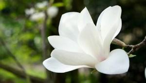 Magnoloa blossom