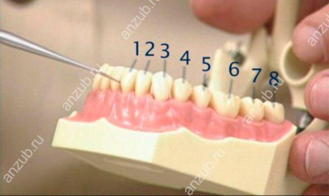 Зубы порядок расположения у взрослых